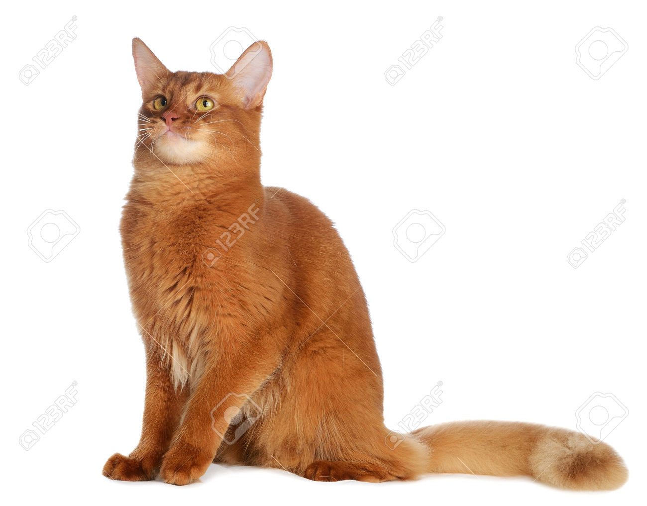 55 Most Beautiful Somali Cat Pictures And Photos