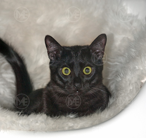 A beautiful black kitten with a sweet cougar c amp i - 2 6