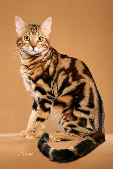 A Bengal Cat For Sale 50 Most Adorable Benga...