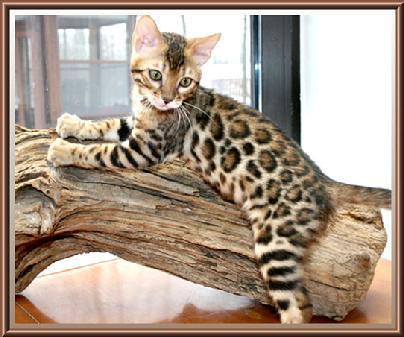 Golden Bengal Cat For Sale