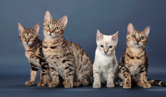 Bengal cat size compared normal cat