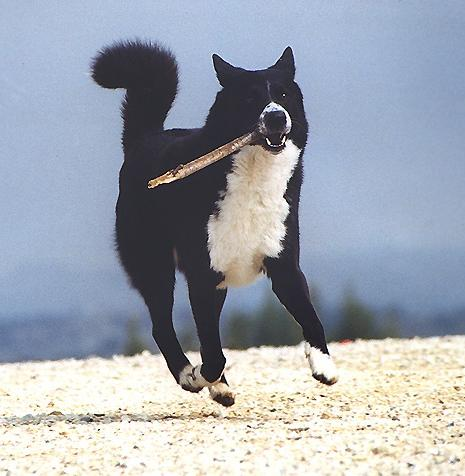 Black And White Canaan Dog Running With Wooden Stick In Mouth