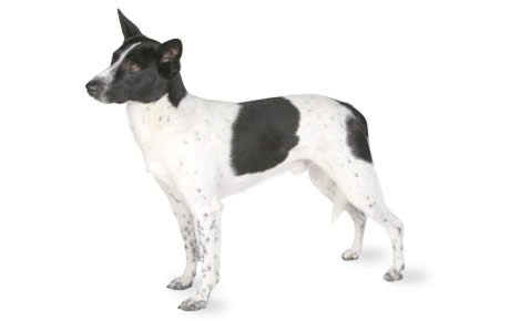 Black And White Canaan Dog Photo