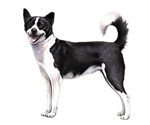60+ Most Beautiful Canaan Dog Photos And Pictures