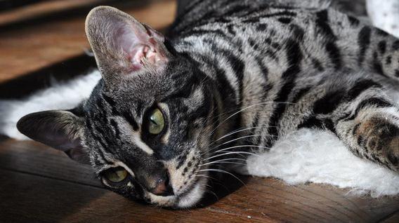 Black Bengal Cross Cat