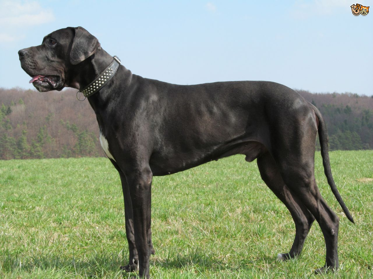 Black great dane dog standing in garden for Picture great