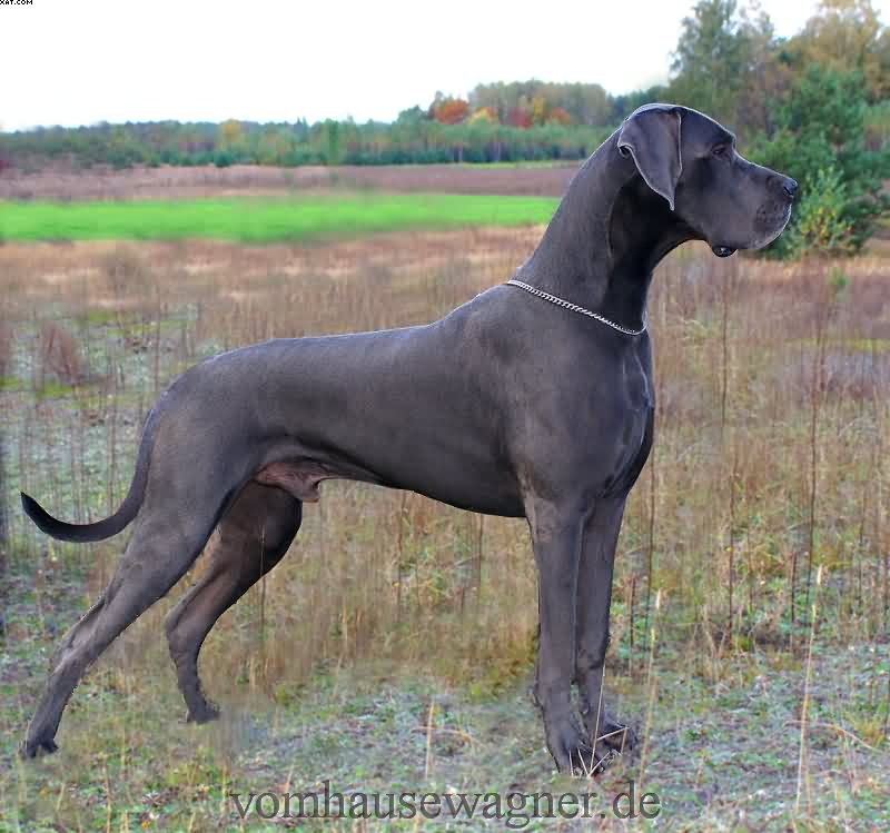25+ Mind Blowing Blue Great Dane Dog Pictures And Photos