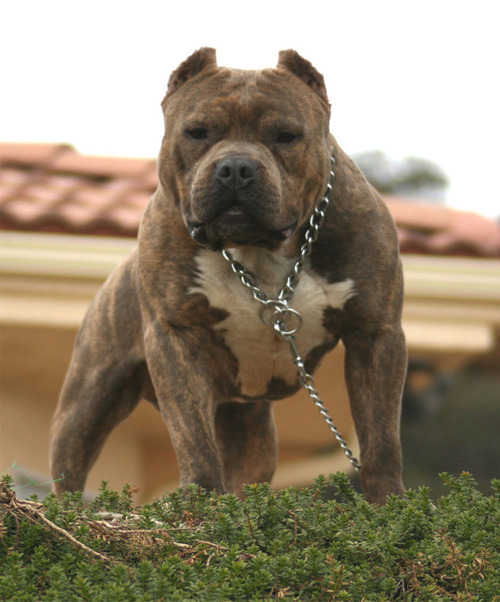 Brindle Pit Bull Dog Picture