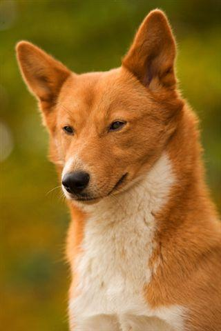 32 Most Beautiful Brown Canaan Dog Pictures And Images