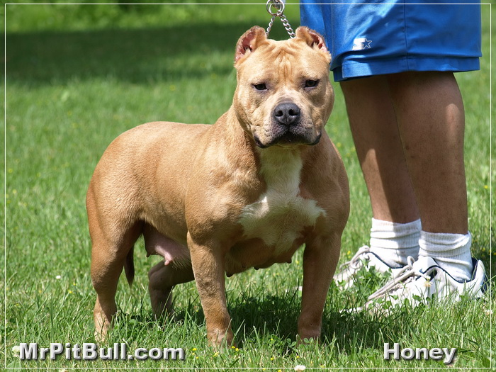 pitbull and bulldog 50 most beautiful pit bull dog pictures and photos 3815