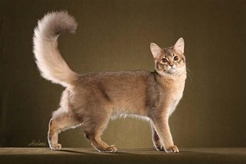 22 Most Wonderful Fawn Somali Cat Pictures And Images
