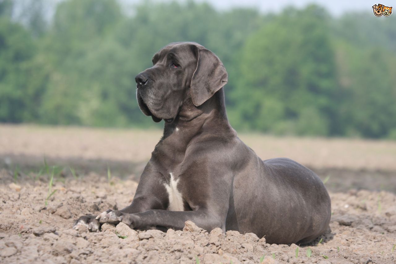 70 Most Adorable Great Dane Dog Photos And Pictures  70 Most Adorabl...