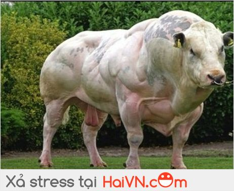 Funny Muscular Bull Picture
