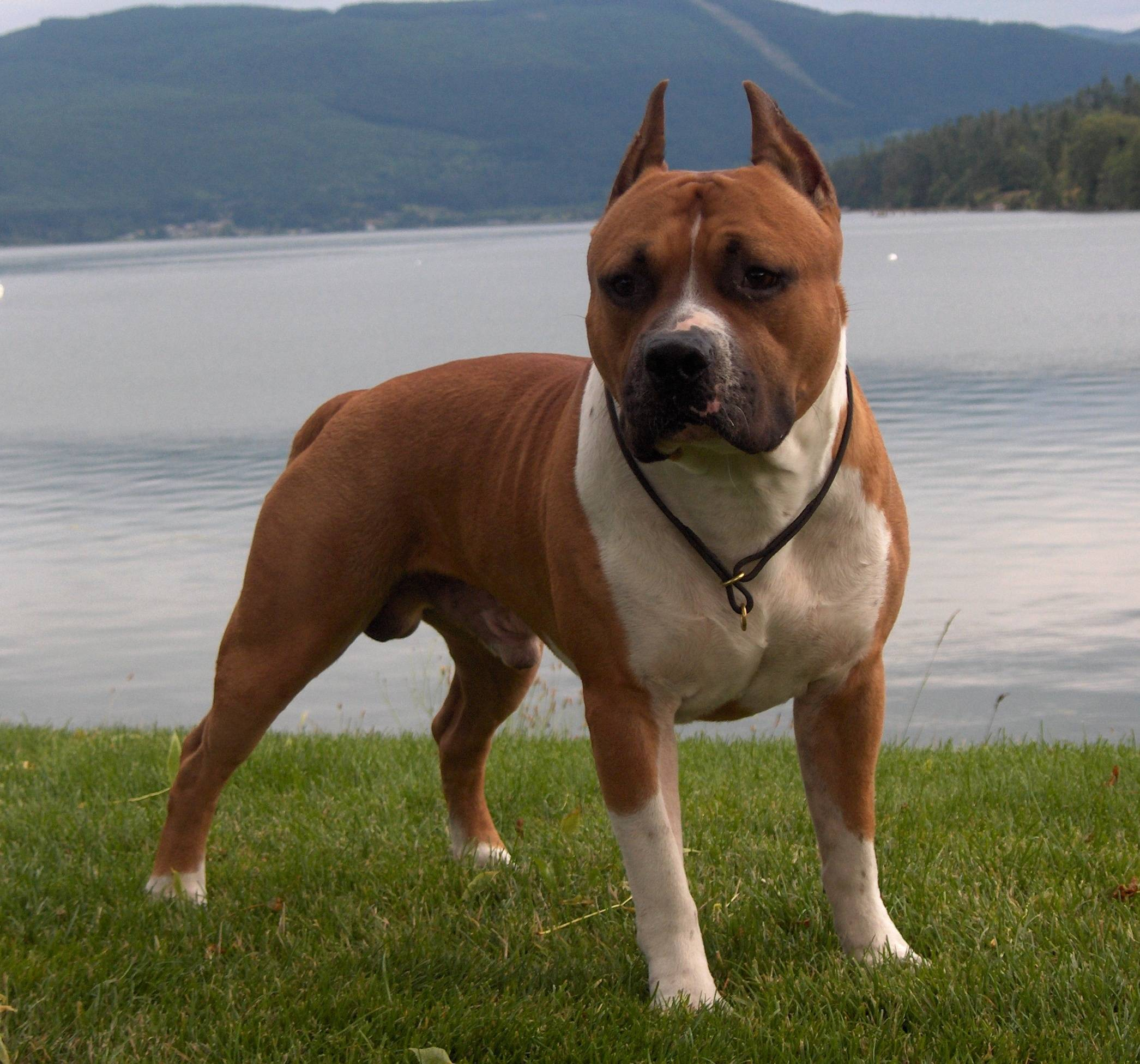 Golden And White Male Pit Bull Dog