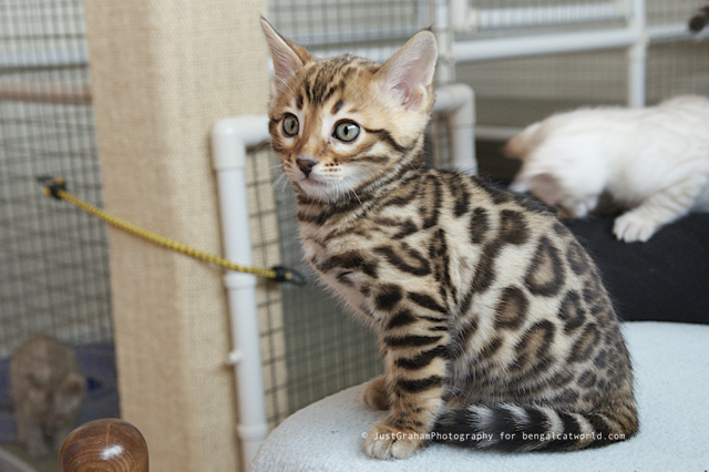 40 Very Cute Bengal Kitten Pictures And Images