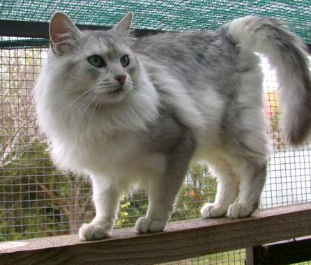 15 Very Awesome Grey Somali Cats Photos