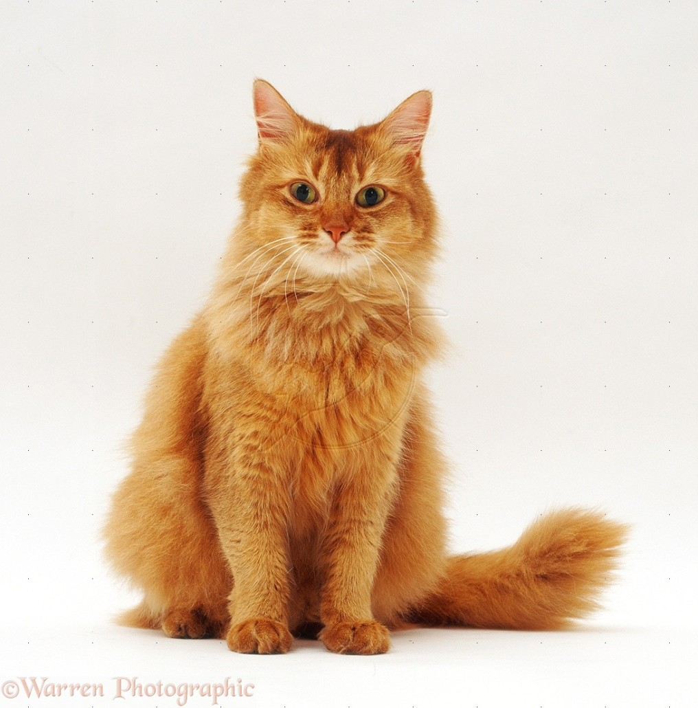 Long Haired Yellow Cat Breed