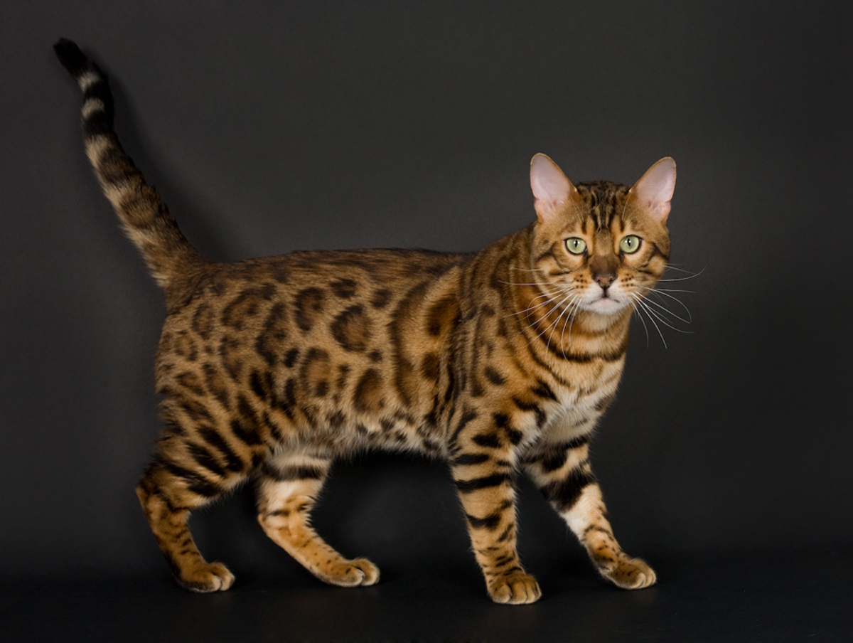 Bengal cat male size