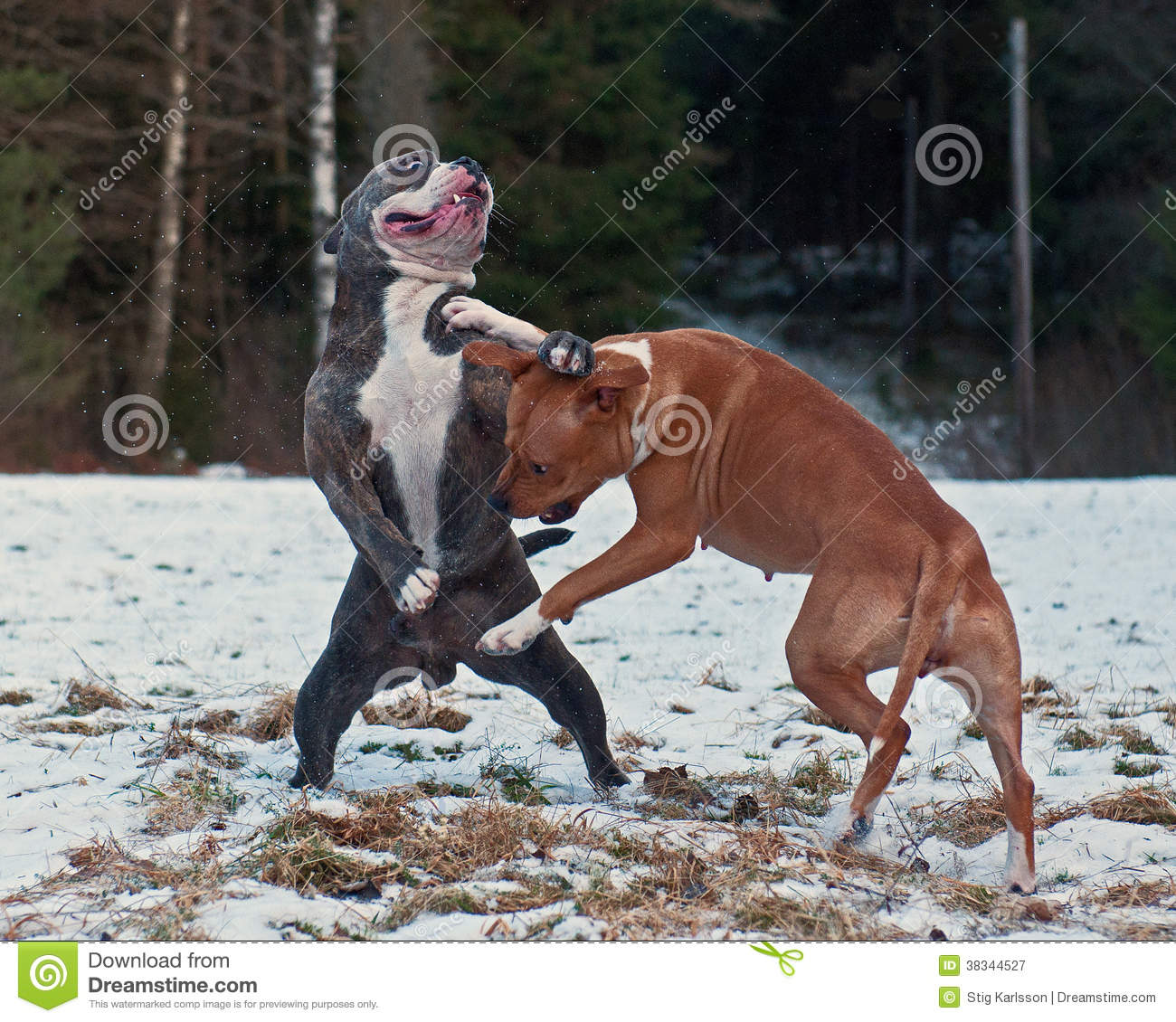 american pit bull terrier essay American pit bull terrier essay the world seems to believe that the american pit bull terrier is a vicious breed of dog, violent and ruthless by nature, and that.