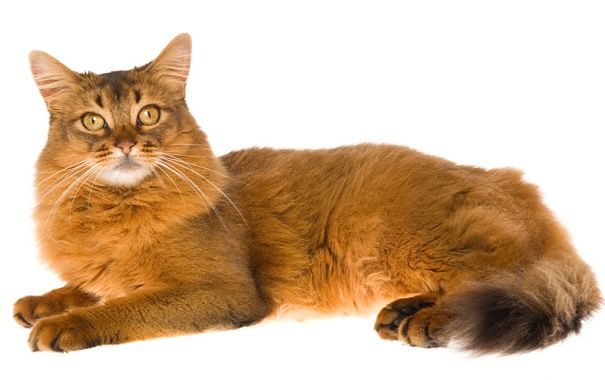25 Very Awesome Red Somali Cat Pictures And Photos