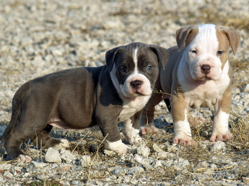 30 Very Cute Pit Bull Puppy Pictures And Images