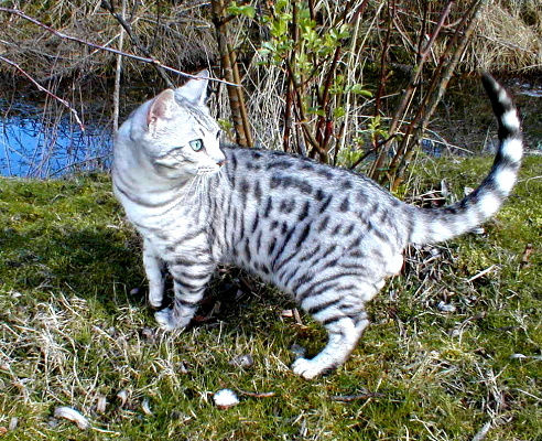 25 Most Adorable White Bengal Cat Pictures And Images