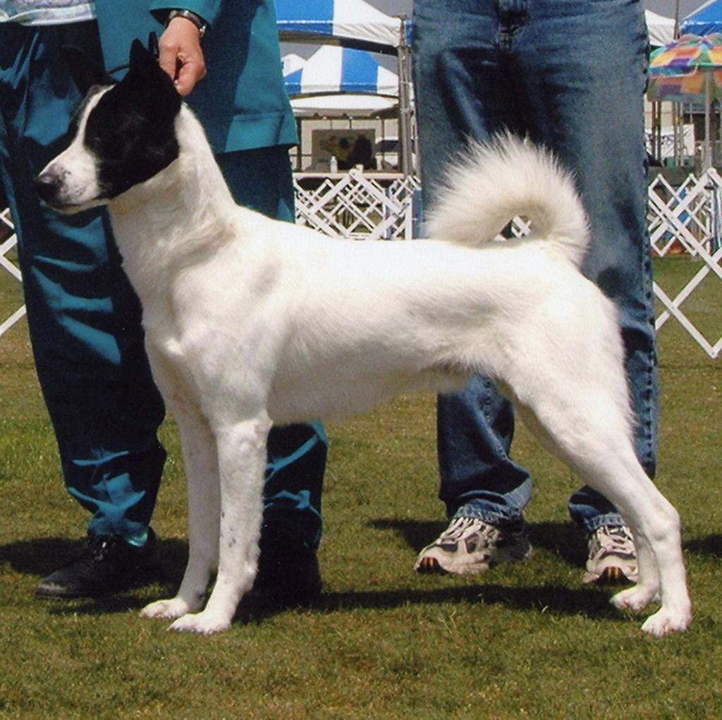 Canaan Dog White