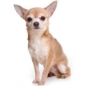 Small Chihuahua Dog Coat