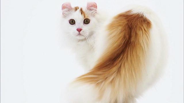 Beautiful-American-Curl-Cat-Looking-Back.jpg