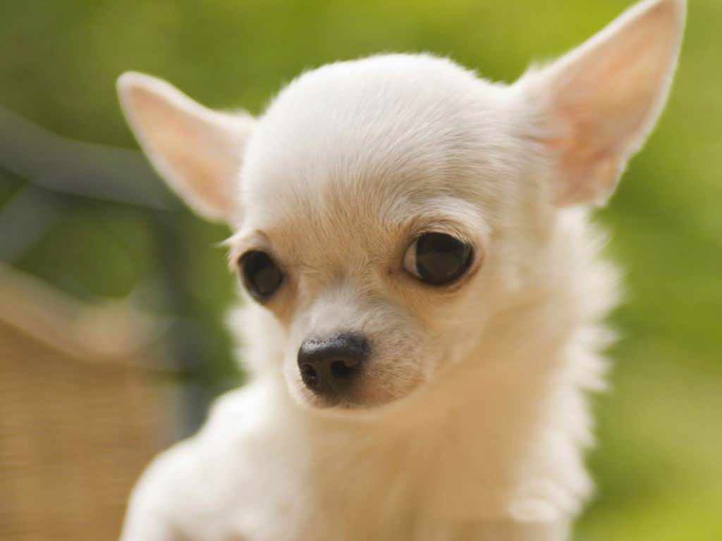 Bilderesultat for most beautiful chihuahua