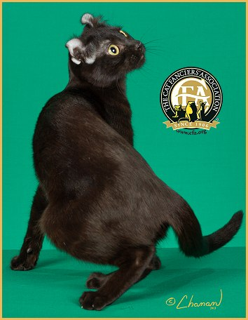 American Curl Cat Black