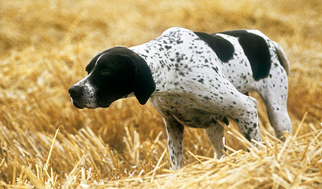 Black And Brindle Pointer Dog In Fields