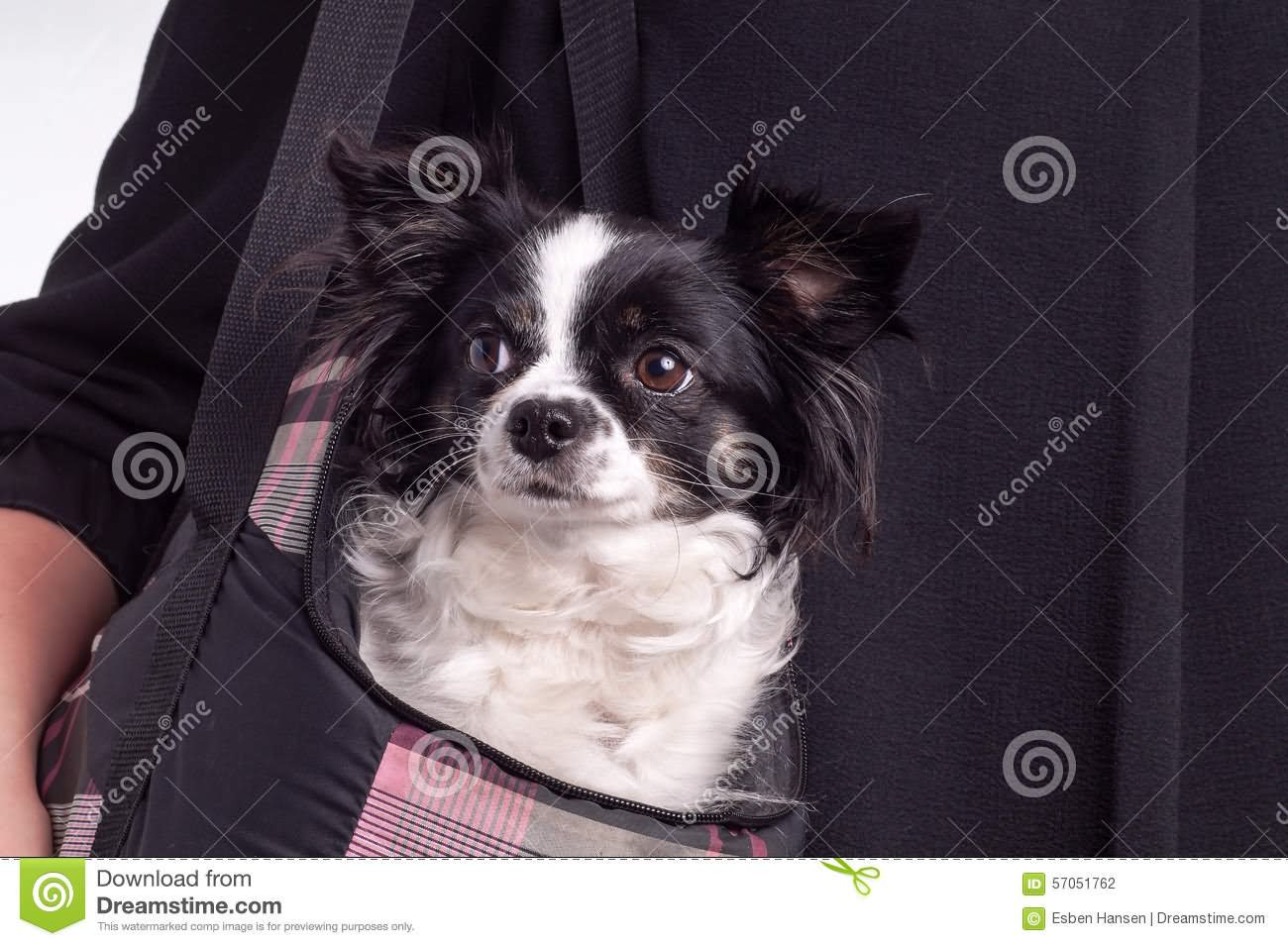 Black Chihuahua Dog Photos And Images