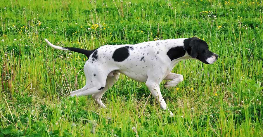 75+ Very Beautiful Pointer Dog Pictures And Images