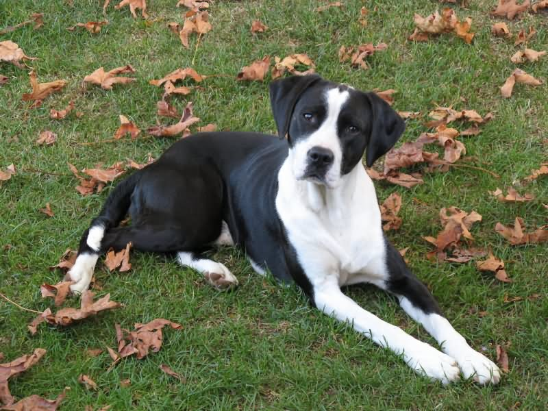 Black And White Pointer Dog Sitting On