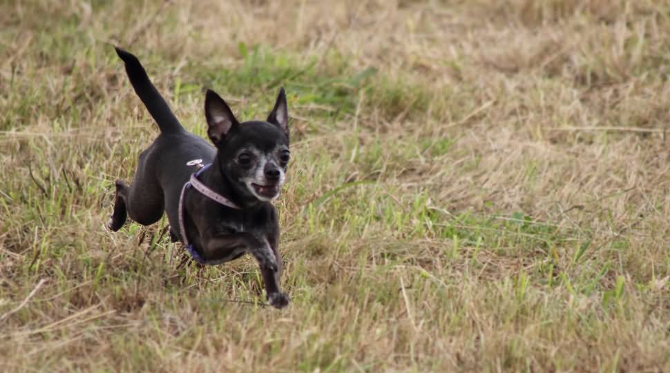 50 Most Adorable Black Chihuahua Dog Photos And Images