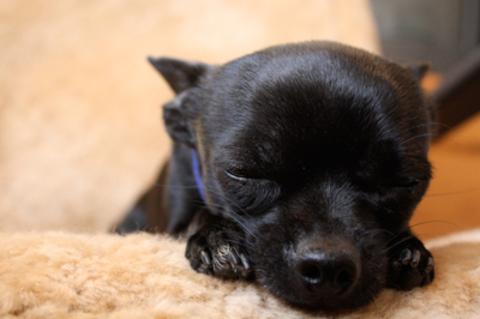 Black dog lying on back - photo#20