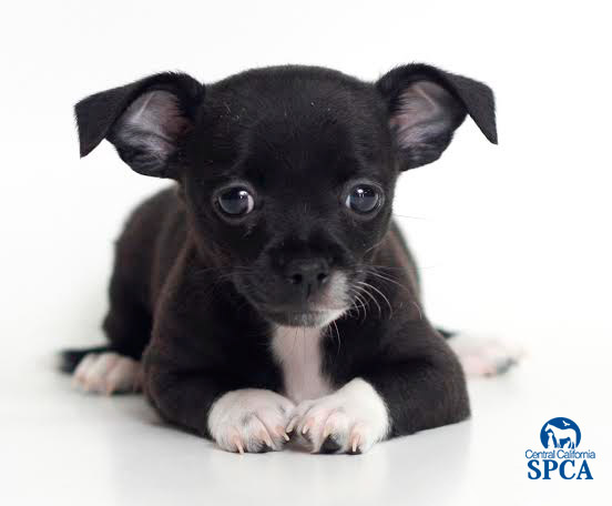 chihuahua black and white 50 most adorable black chihuahua dog photos and images 4242