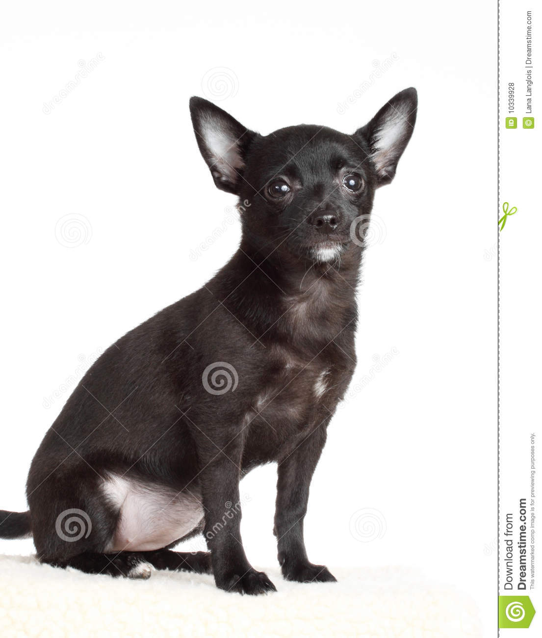 chihuahua black single women Chihuahuas: the most honest dog breed review you'll ever find about chihuahua   chihuahua temperament, personality, behavior, traits, and characteristics, by   because of the two layers, this coat sheds more than short coat, single.