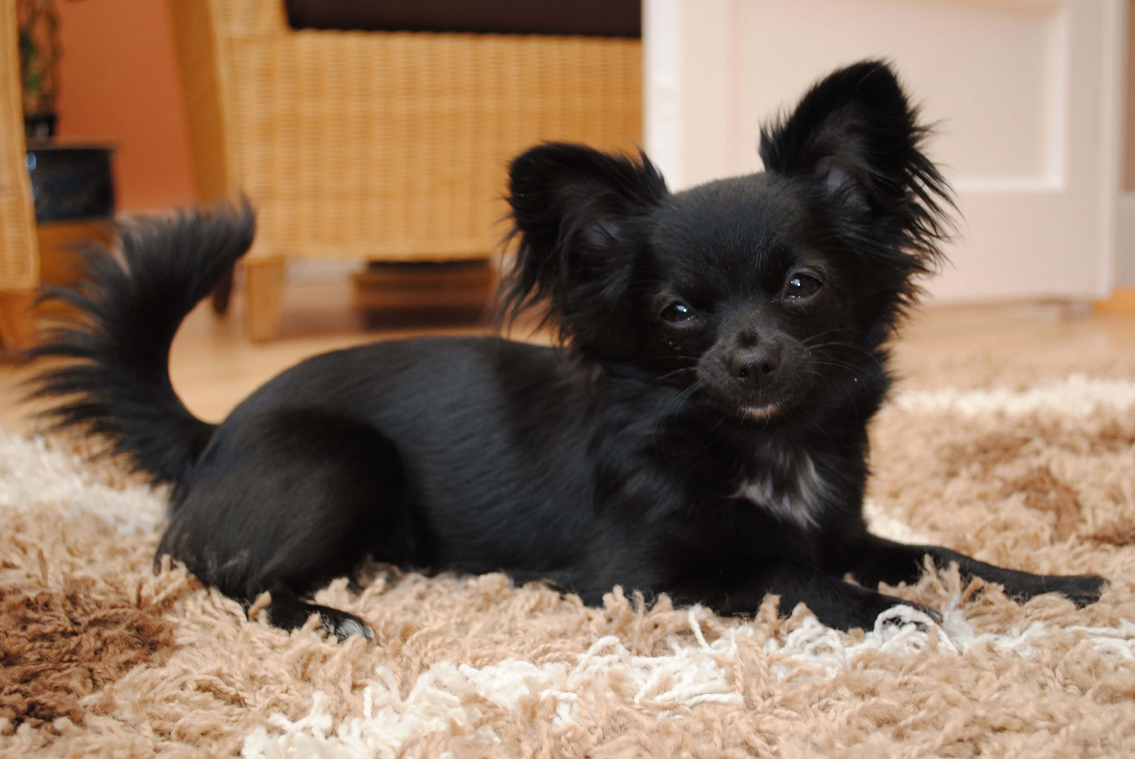 Wonderful Black Chubby Adorable Dog - Black-Long-Hair-Chihuahua-Dog-Sitting  Perfect Image Reference_551494  .jpg