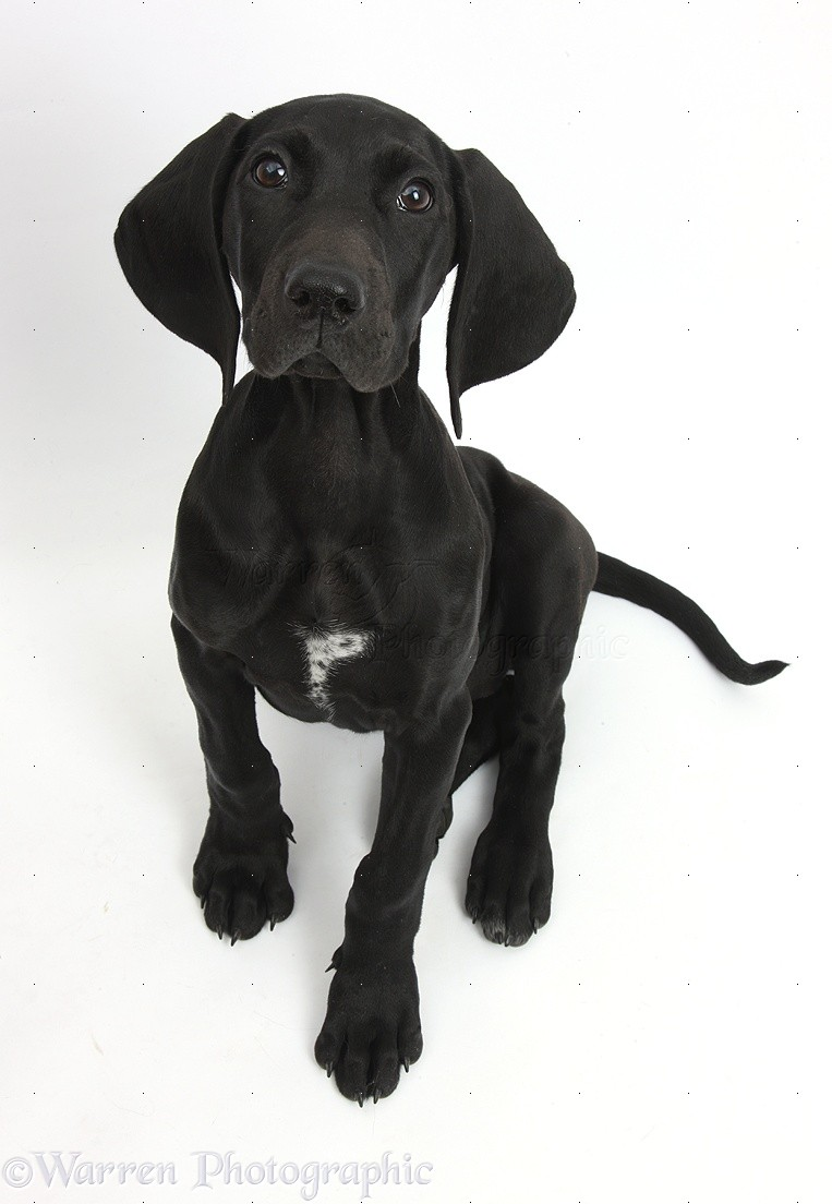 40 Most Adorable Black Pointer Dog Pictures And Photos