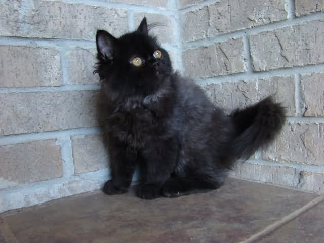30 Most Adorable Black Ragamuffin Cat Pictures And Images