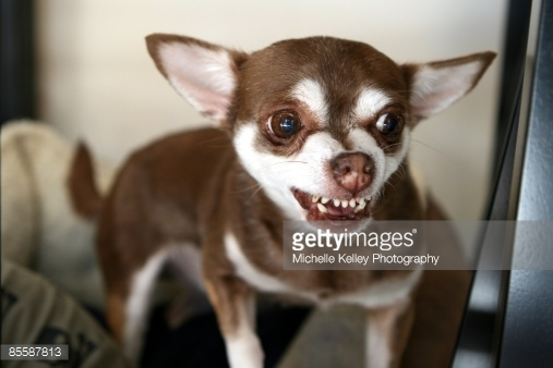 brown and white chihuahua 50 most wonderful brown chihuahua dog pictures and images 9966