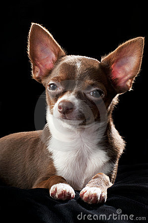 brown and white chihuahua 50 most wonderful brown chihuahua dog pictures and images 461