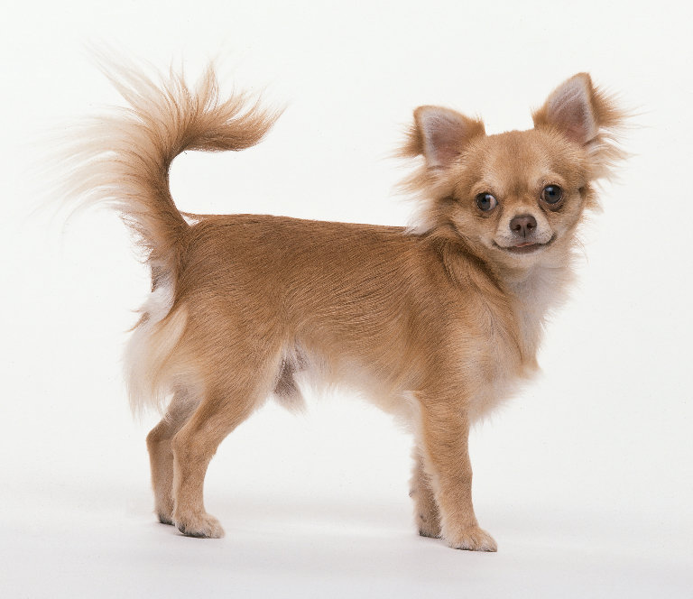 how to cut a long haired chihuahua
