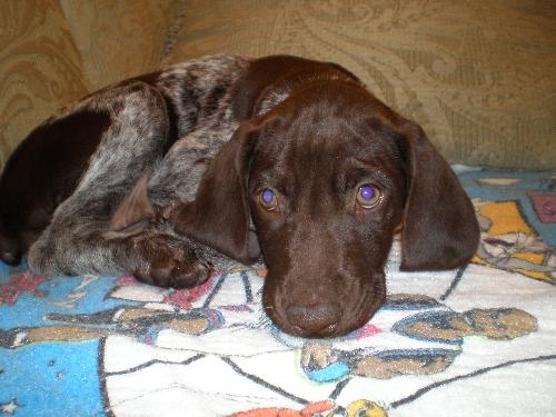 25 most beautiful brown pointer dog pictures and images