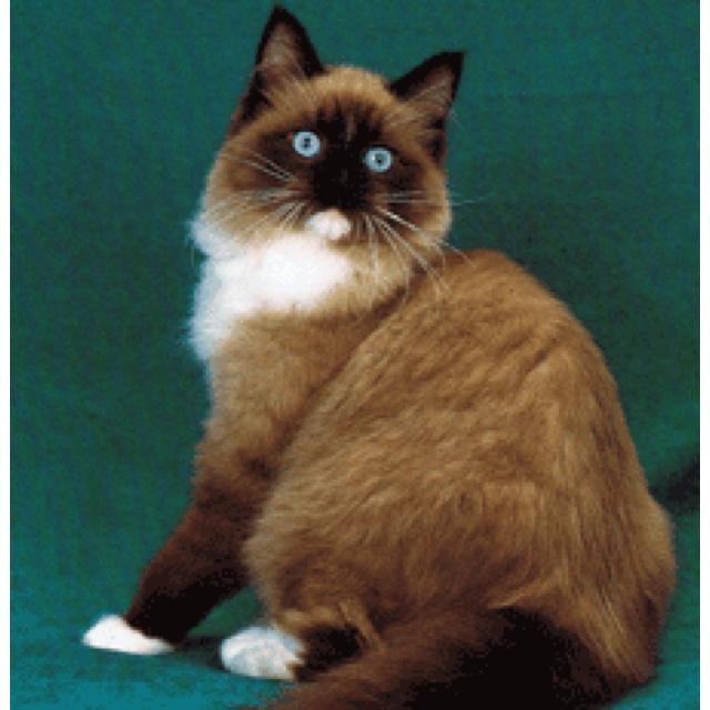 ragdoll cat for sale mn