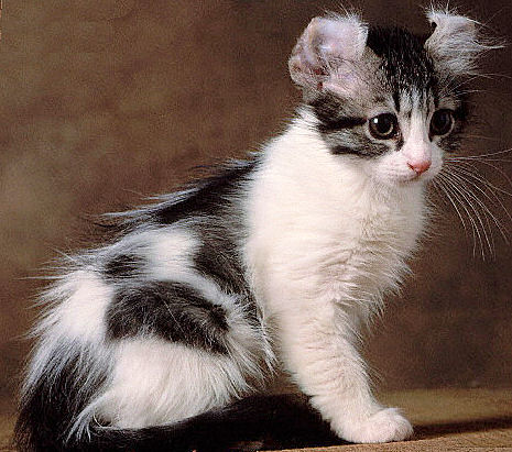 70 Most Adorable American Curl Cat Pictures And Photos