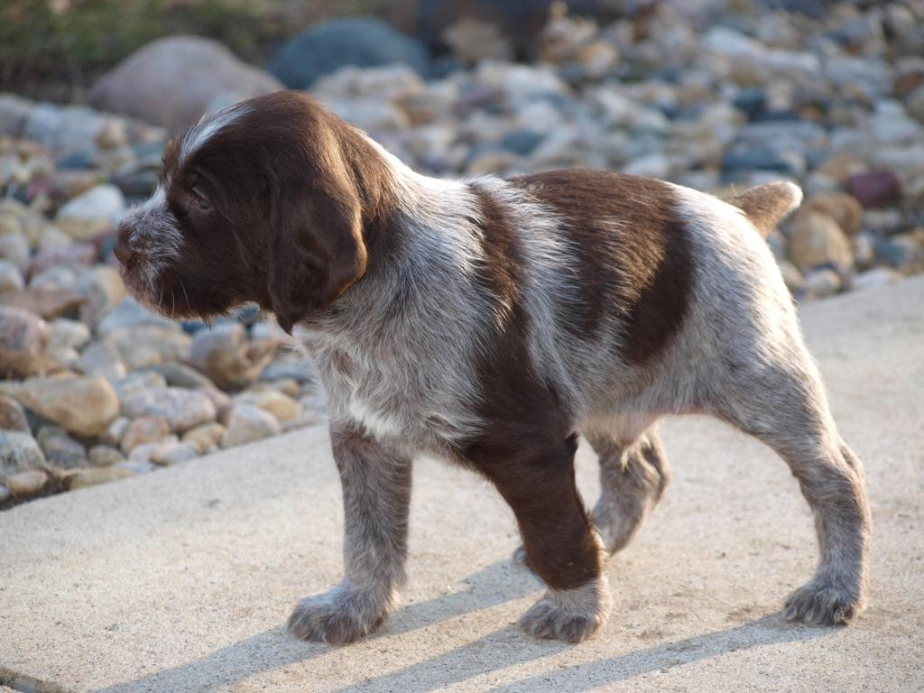 55 Very Cute Pointer Puppy Pictures And Images