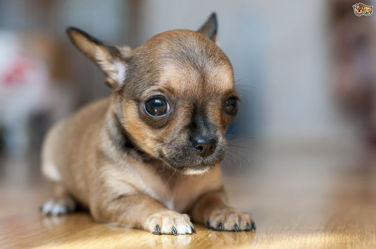 Fantastic Stays Puppy Chubby Adorable Dog - Cute-Little-Chihuahua-Puppy-Sitting  Pictures_495636  .jpg